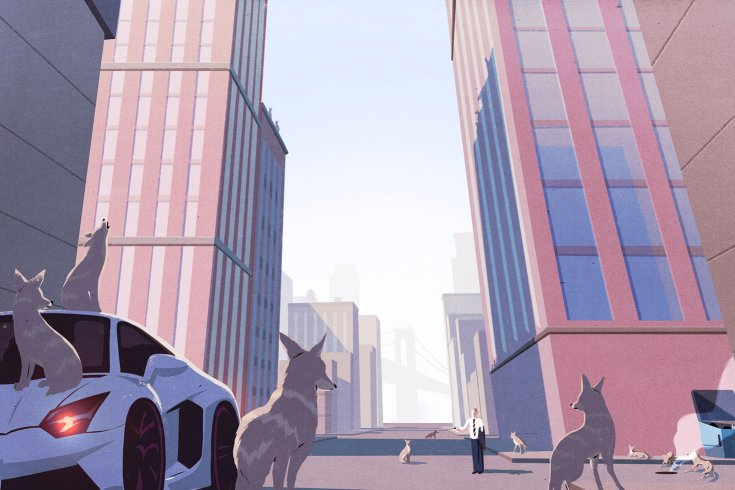 Coyotes walking around a city