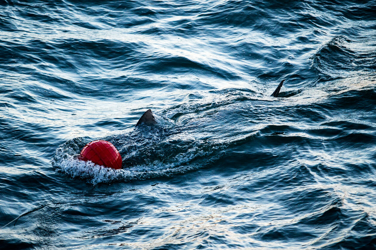 A shark swims in the water.