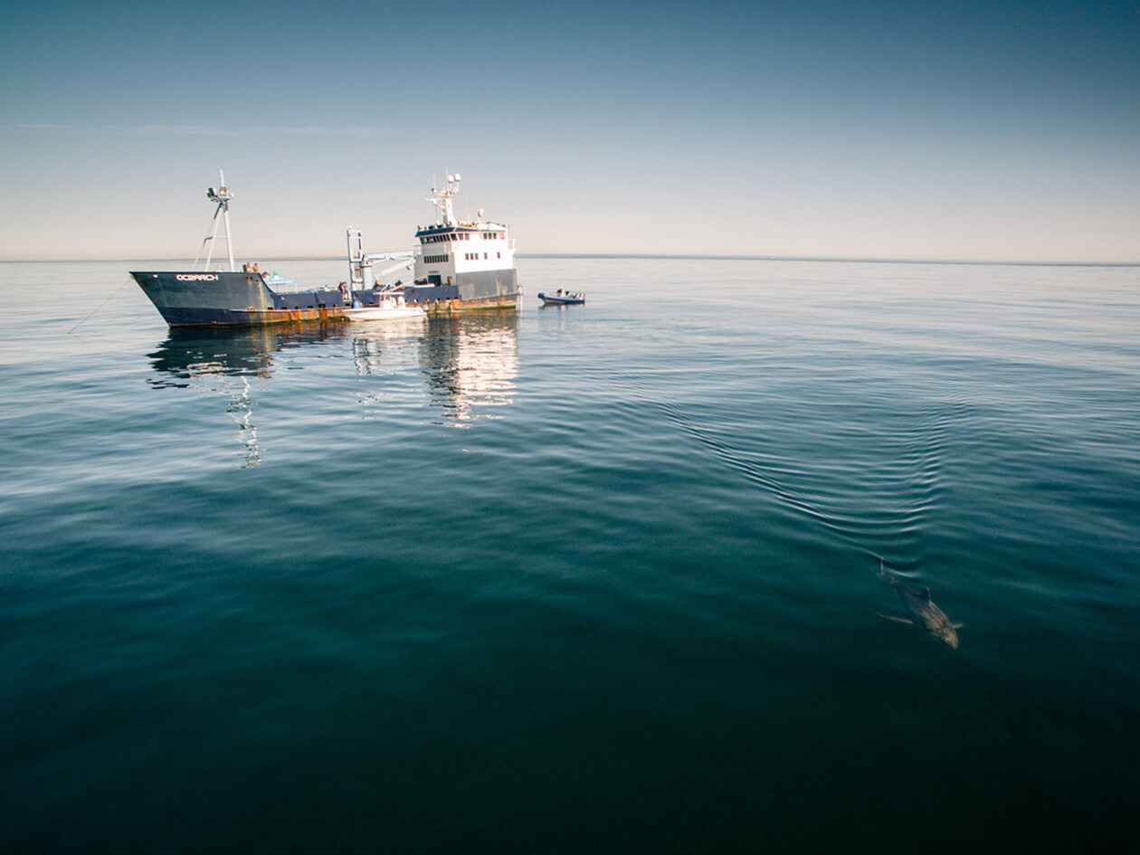 A white shark swims in the water with a ship in the background.