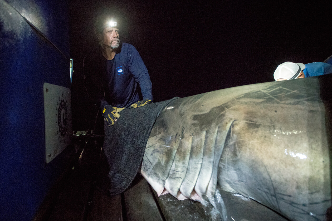 A man wearing a headlamp stands next to a shark.