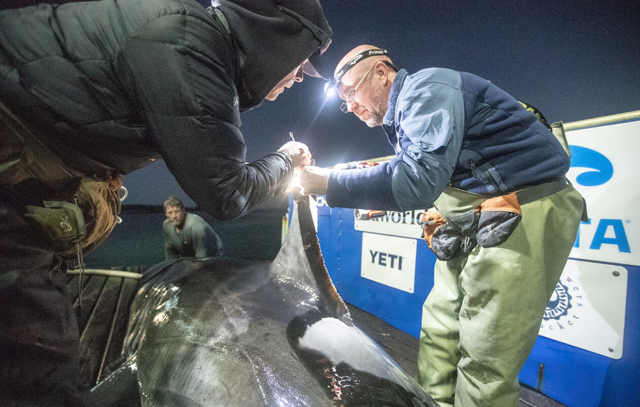 A man attaches a tag to a shark fin.