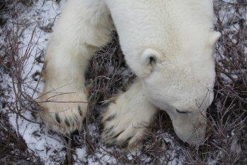 polar bear sitting in brush