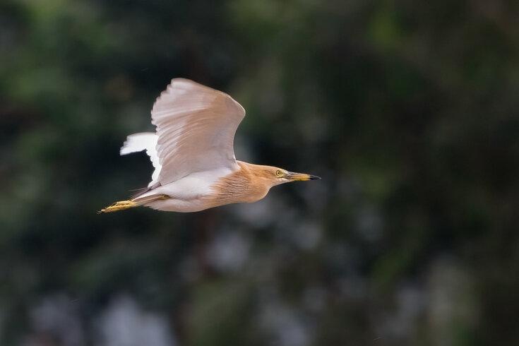 A photograph of a bird in flight.
