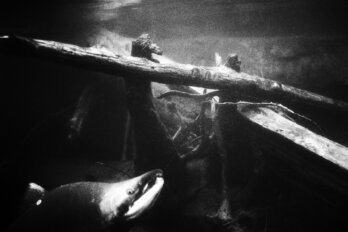 A black and white photo of a sockeye salmon swimming in a river.