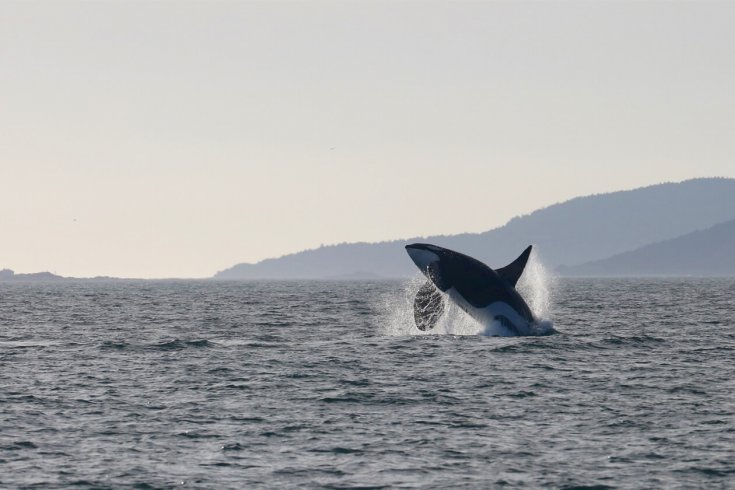 An orca jumps out of the water.