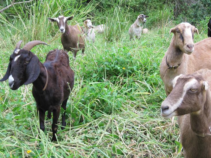 A few goats in the grass