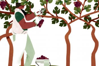 Man Removing grapes from trees