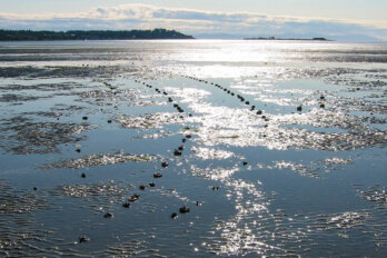 A photo of ancient Indigenous fish traps lining a harbour in British Colombia.