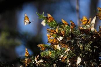 A group of monarch butterflies resting on a tree branch in their winter nesting area.
