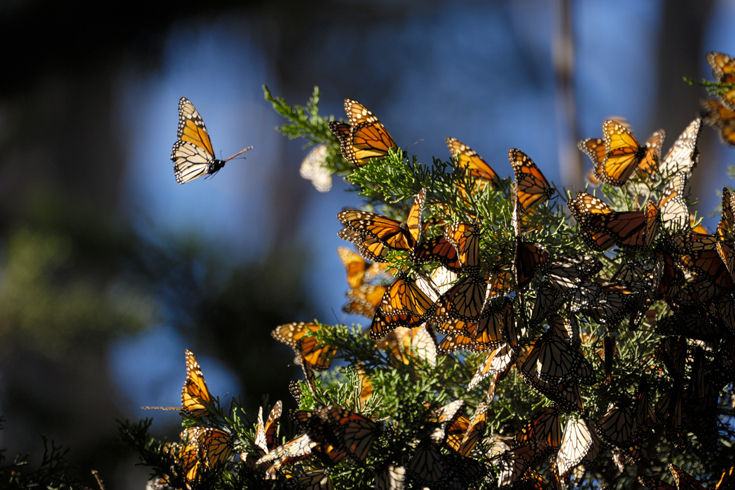 A tree branch covered in butterflies.