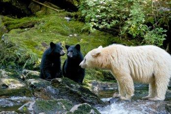 Still image from the documentary Spirit Bear Family