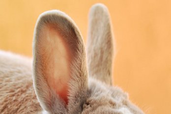 A close-up of a rabbit's ears