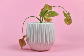 Photo of a plant drooping in a white pot against a pink background.