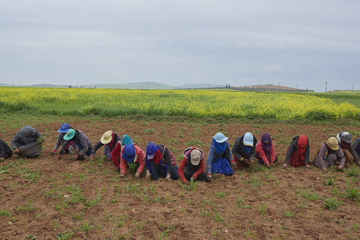 A line of women kneeling in a field, pulling weeds.