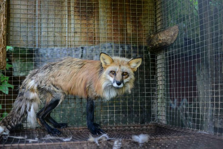 Photograph of a red fox alone in a metal cage.