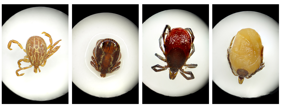 A strip of four horizontal photos of different types of ticks