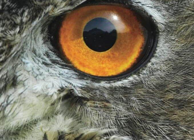 eye of an owl close up
