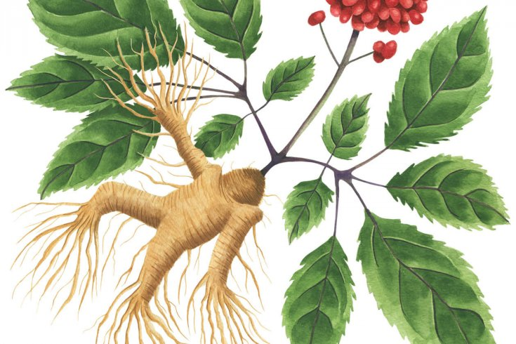 Illustration of a ginger root.