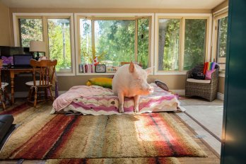 pig taking in some rays while relaxing in his bedroom