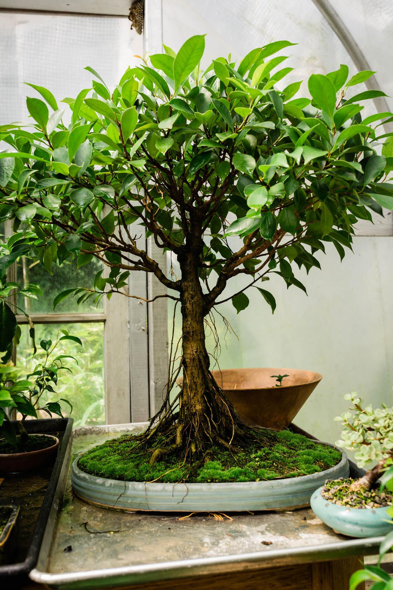 A bonsai