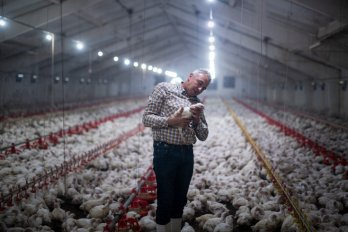 A man in a checkered shirt stands inside a large, barn-shaped building surrounded by chickens. He is holding a chicken in his hands and leaning towards it.
