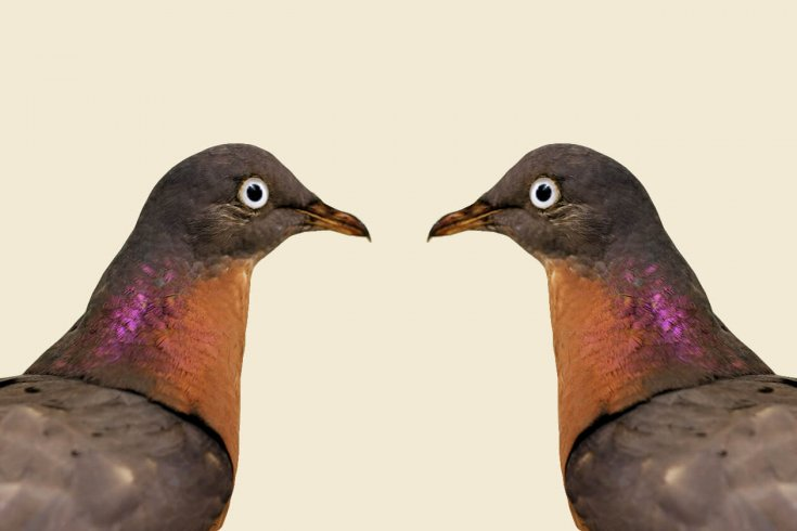Illustration of two pigeons looking at each other.