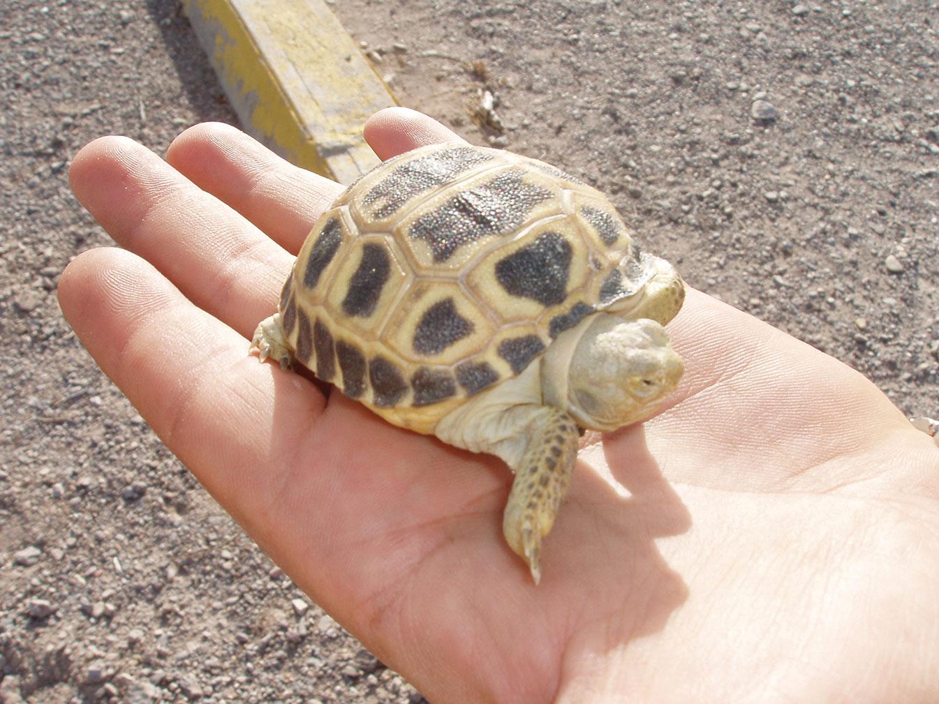Photograph of small bolson tortoise at Bolsón de Mapimí by Myles Traphagen