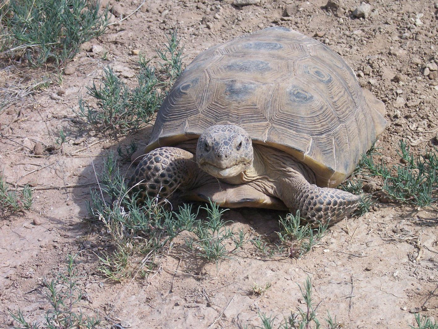Photograph of large bolson tortoise by John Walker